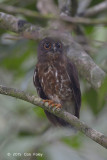 Owl, Brown Hawk
