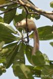 Squirrel, Giant Cream Colored
