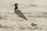 Lapwing, Red Wattled