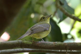 Flycatcher, Green-backed (female) @ Sime Track