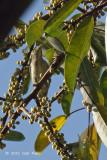 Flowerpecker, Thick-billed