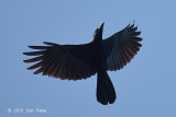 Crow, Slender-billed