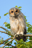 Owl, Spotted Wood (juv) @ Pasir Ris Park