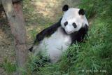 Panda Bear (Kai Kai)