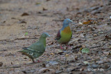 Pigeon, Little Green (pair)