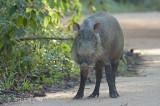 Pig, Bearded (female)