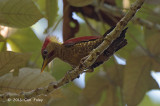 Woodpecker, Crimson-winged (male)
