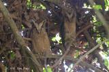 Owl, Sunda Scops (pair)