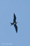 Frigatebird, Lesser @ Singapore Straits