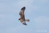 Harrier, Western Marsh (male) @ Oland, Sweden