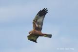 Harrier, Western Marsh