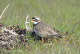 Plover, Common Ringed (female) @ Oland, Sweden
