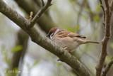 Sparrow, Eurasian Tree @ Oland, Sweden
