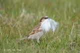Sparrow, House @ Oland, Sweden