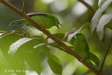 Leafbird, Blue-winged (juv being feed)