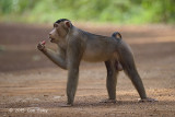 Macaque, Southern Pig-tailed