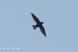 Needletail, Brown-backed