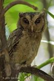 Owl, Sunda Scops @ SBG