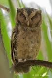 Owl, Sunda ScopsOwl, Sunda Scops @ SBG