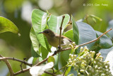 Sunbird, Purple-throated (female)