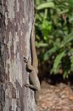 Clouded Monitor Lizard @ SBG