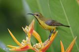 Sunbird, Olive-backed (eclipse) @ Botanic Gardens