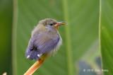 Sunbird, Olived-backed (juv) @ Botanic Gardens