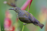 Sunbird, Brown-throated (female) @ Botanic Gardens