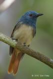 Philentoma, Rufous-winged (male)