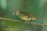 Flowerpecker, Yellow-breasted