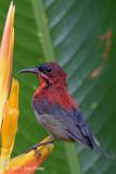 Sunbird, Crimson (subadult male) @ Botanic Gardens