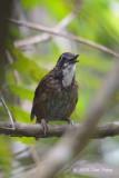 Babbler, Large Wren (male)