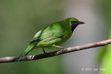Leafbird, Greater-green (male)