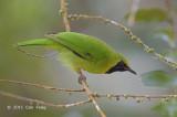 Leafbird, Lesser Green (male)