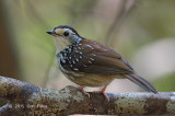 Babbler, Striped Wren