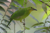 Leafbird, Greater Green (female)