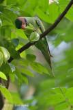 Parakeet, Long-tailed (male) @ Venus Loop