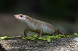 Common Sun Skink @ Bidadari