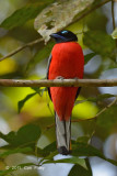 Trogon, Scarlet-rumped (male)
