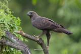 Eagle, Changeable Hawk (dark morph) @ Bidadari