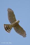 Sparrowhawk, Japanese (juvenile) @ Changi