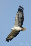 Eagle, White-bellied Sea @ Changi