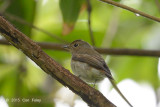 Flycatcher, Narcissus (female) @ Bidadari