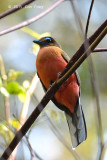 Trogon, Scarlet-rumped (female)