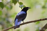 Bluebird, Asian Fairy (male) @ Dairy Farm