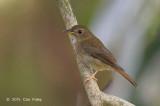 Flycatcher, Brown-chested Jungle @ Bidadari