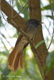 Flycatcher, Blyth's Paradise @ Bidadari