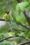 Parakeet, Long-tailed (male) @ Venus Drive