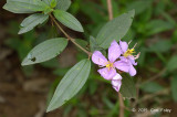 Straits Rhododendron (Melastoma malabathricum)
