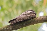 Nightjar, Grey @ Bidadari